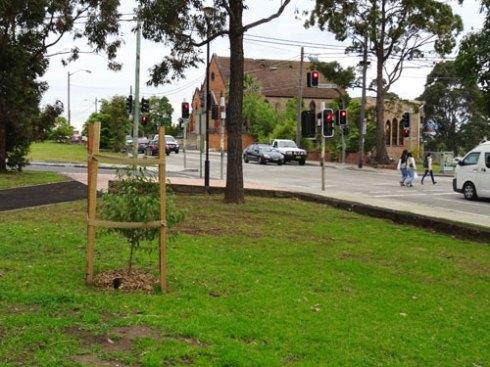 New Tallowwod tree near Railway Street.