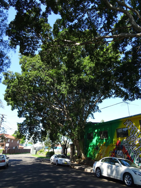 Hills Fig tree to be removed at the Marrickville Youth Resource Centre in Marrickville.