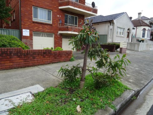 Eucalypt vandalised outside 141 Livingstine Road Marrickville. No stakes and judging by the size this tree was planted in 2013 or 2014. What a stupid loss.