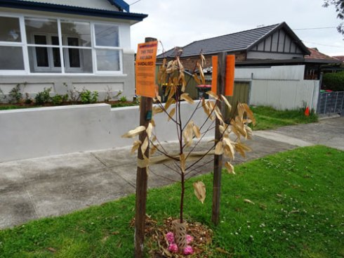 The vandalised tree.  I hope Marrickville Council plants another in this location.