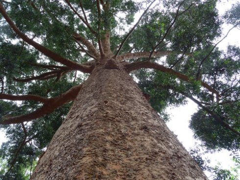 A magnificent Queensland Kauri pine   We have one growing in Enmore Park, that was planted in 2013.