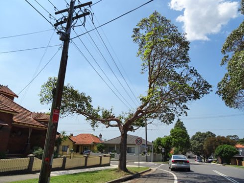 Street trees are being pruned like this in many parts of Sydney.  This Brushbox is in Canterbury.