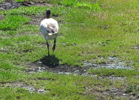 An Ibis walks through the masses of glass on the eatern peninsula at Boat Harbour.  Glass is all over this area, including right next to the edge of the riverbank.