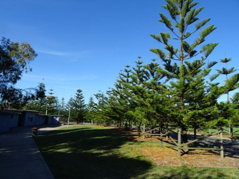 Up to 24 Norfolk Island pines will be removed for the Sydney Olympic Football Club building if I understand the plans correctly.