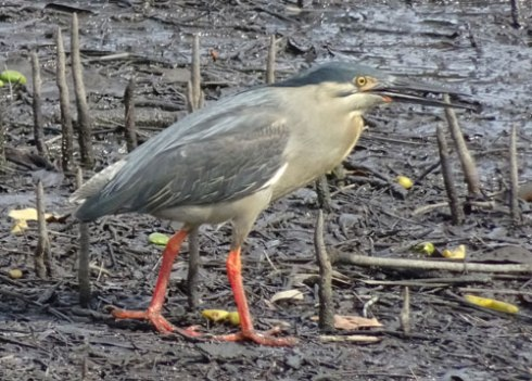Striated heron - Cooks River. Such shy little birds that sneak out of the mangroves when they think no-one ois looking. Expert catchers of fish too.