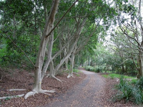Another view of The Greenway filled with Hills Fig trees and an almost continuous canopy. Very special.