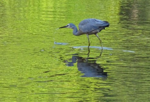 White-faced heron - Cooks River