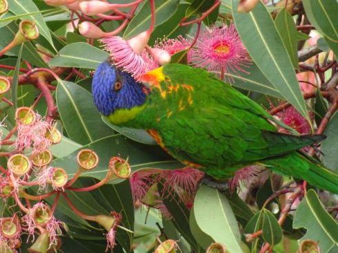 Rainbow lorikeet feasting on nectar.