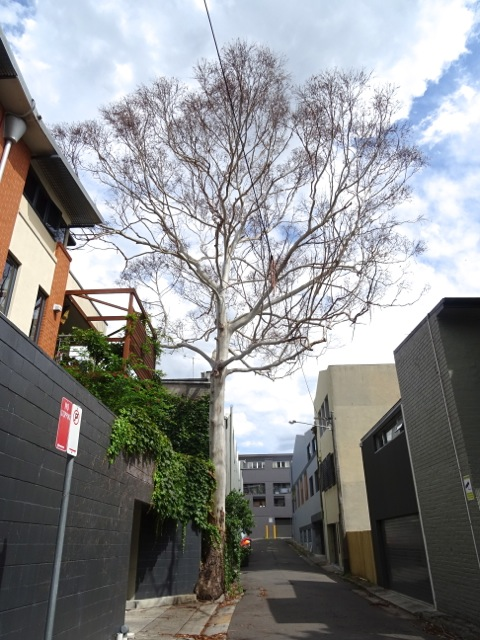 Dead Sydney Blue gum in Tooth Lane Camperdown