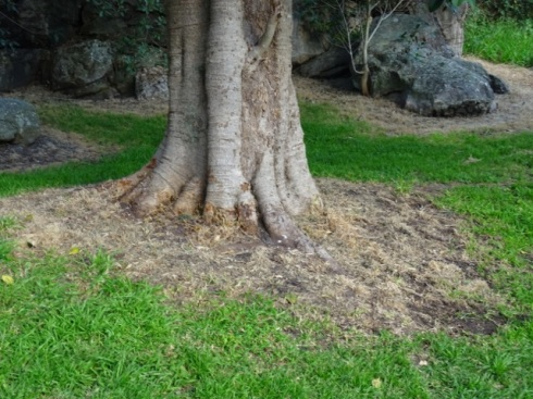 The ground around a veteran Fig tree sprayed with Glyphosate.  Every tree in the golf course has been sprayed around the trunk to kill off grass.  Why not remove the grass and add mulch?  You can also see Glyphosate use in the background.
