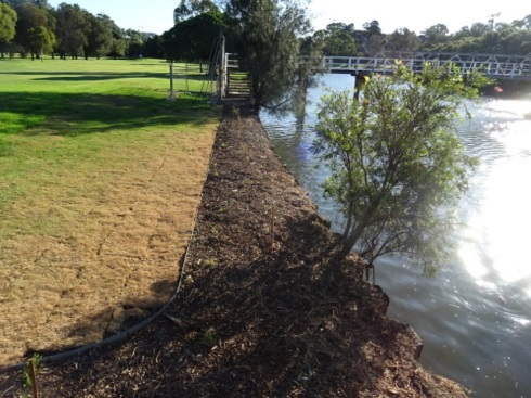 Three new Casuarina trees & an area beside the river that won't need to be sprayed with Glyphosate.