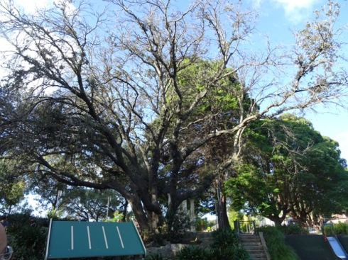 Dying Evergreen oak tree in Hoskins Park Dulwich Hill. Unfortunately it stands above the playground.