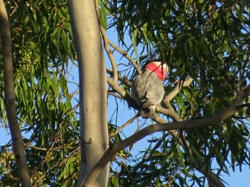 A Galah - Nearly half of 200 Australian species are threatened by climate change.