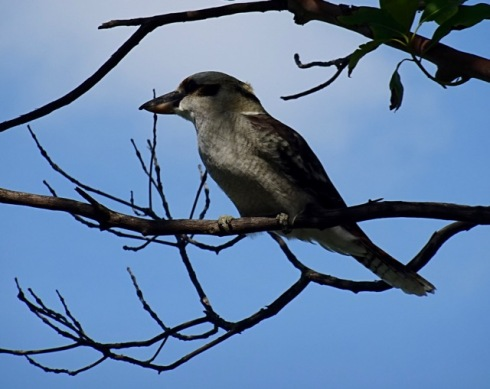 Kookaburra in the grounds of Newington College Stanmore.