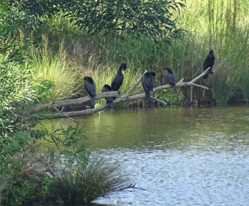 Little black cormorants