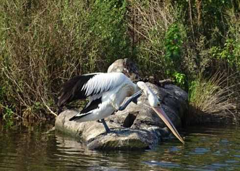 I was admiring the artful placement of this log when a pelican hopped up and had a scratch.