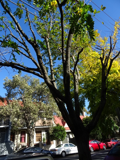 Golden robinia almost dead on Alice Street Newtown.