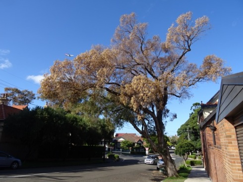 Tree to be removed outside Percival Road Stanmore