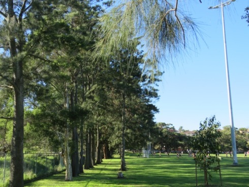 Native ground covers & grasses will be planted underneath these Casuarina trees beside the golf course & new trees will be planted in the gaps. Rocks, logs & nesting boxes will be placed in this area to increase viable habitat for wildlife.  All very good.