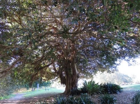 This is one of a number of significant trees that would be affected by the planned 3-metre path.