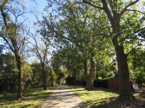 Poplar trees along the Cooks River Foreshore. Poplars are deciduous, so they have lost most of their leaves. This is a glorious place to walk in summer. Lots of birds, cool dappled shade and much beauty. It is unthinkable to lose them.