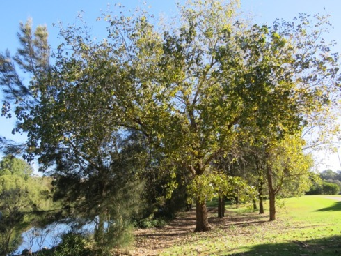 Poplar trees in Steel Park to be removed.