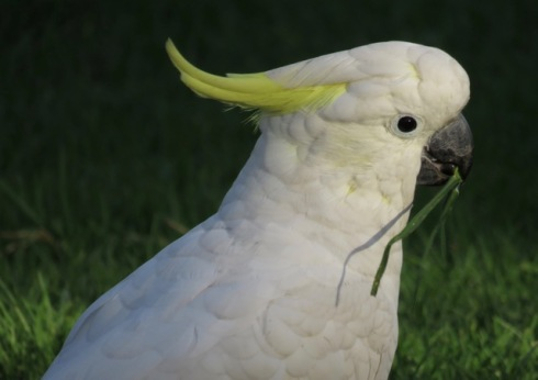 Cockatoo at Cup and Saucer Creek.