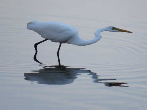 Great eastern egret at Campsie.