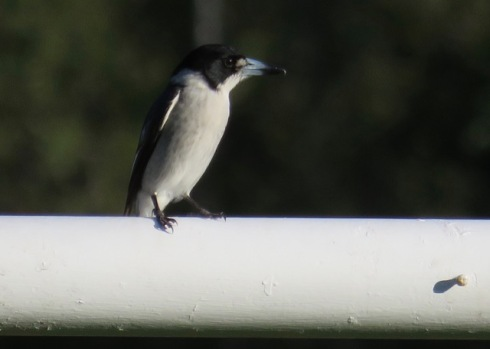 Grey butcherbird sitting on a goal post in Beaman Park.