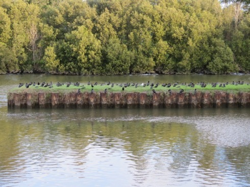 I counted 73 Little black cormorants, though there could be more.  The bird sanctuary here at Boat Harbour  is working.
