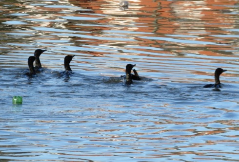 Little black cormorants fishing in the Cooks River off Beaman Park