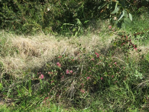 A Pinwheel hakea shrub is almost covered in grass.