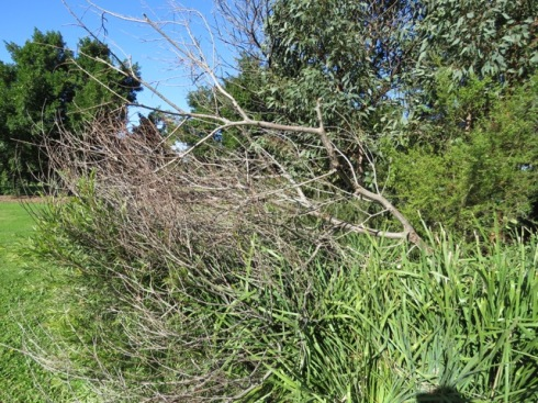 A dead acacia has fallen on a small Callistemon shrub.