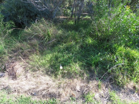 Under this grass is a scaevola and other native plants that can barely be seen.