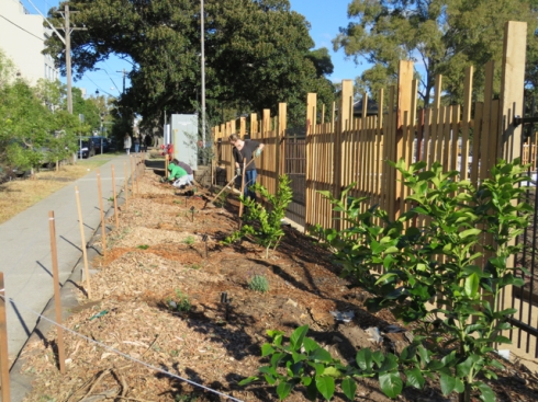 The 100-metre verge is being planted with suit trees, herbs & flowers. Such a boon for the streetscape.