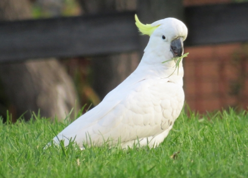 A healthy wild Cockatoo.