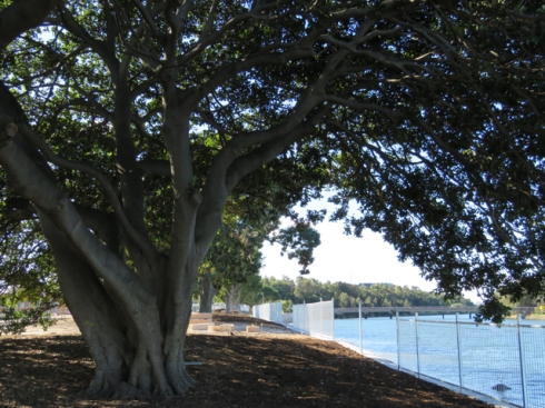 This is the special Fig tree that has been saved from tidal erosion & deep roots exposed to brackish water.