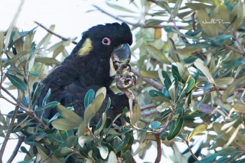 Yellow-tailed Black Cockatoo feeding in a Banksia.  Many thanks to Narelle Power for allowing me to publish her photo.