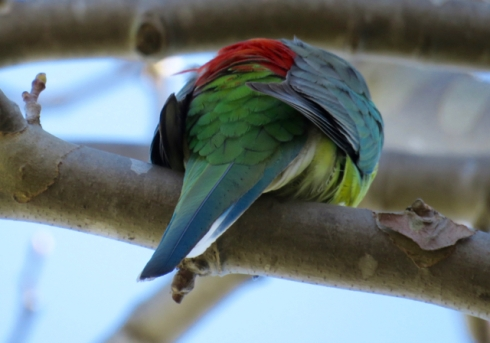 Male Red-rumped parrot - not too often I get a good shot of that red rump.