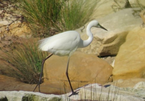 Eastern great egret at the Cooks River