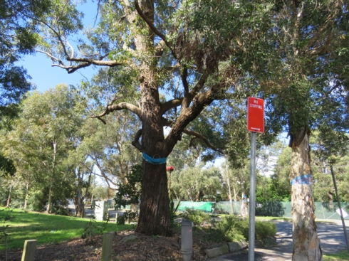 This is a big tree - one of hundreds of big trees that will be removed to widen Campbell Street & Euston Road for the WestConnex Motorway