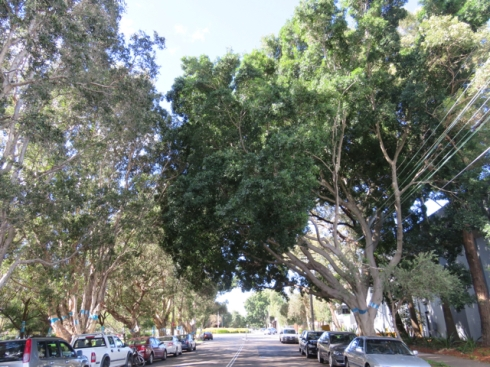 The trees in Euston Road are big, much bigger than the street trees we are used to seeing in the old Marrickville municipality