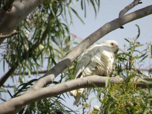 little-corella-photo-by-saving-our-trees