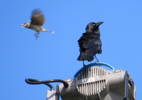 Raven getting bombed by a Noisy Miner