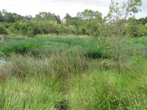 Cup and Saucer Creek Wetland last Sunday.  It's a jungle in there.