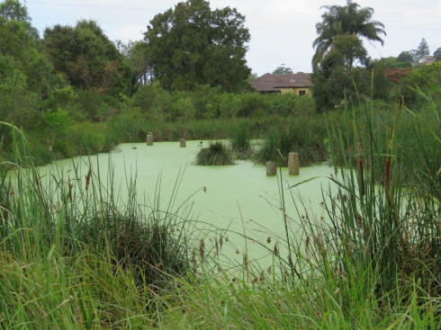 The pond closest to the river is green with algae.