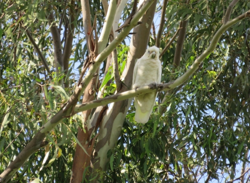 Half a dozen Little corellas flew in to rest in a tall tree.
