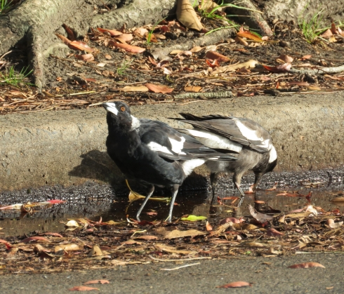 Female Magpie & her new out of the nest fledgling drinking from the gutter.  Fresh water is not readily available for birds in this area that I am aware of so it would be wonderful if the community provided drinking water for them.