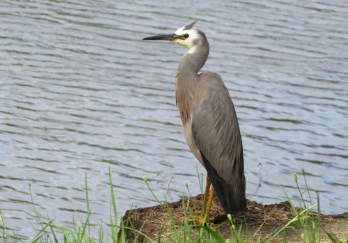 White-faced heron waits and watches the river.