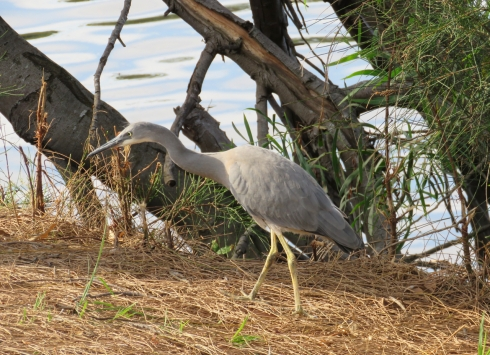 A young White-faced heron seen on the way home. He was within 1.5-metres of the path.